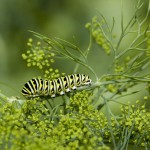 black-swallowtail-caterpillar