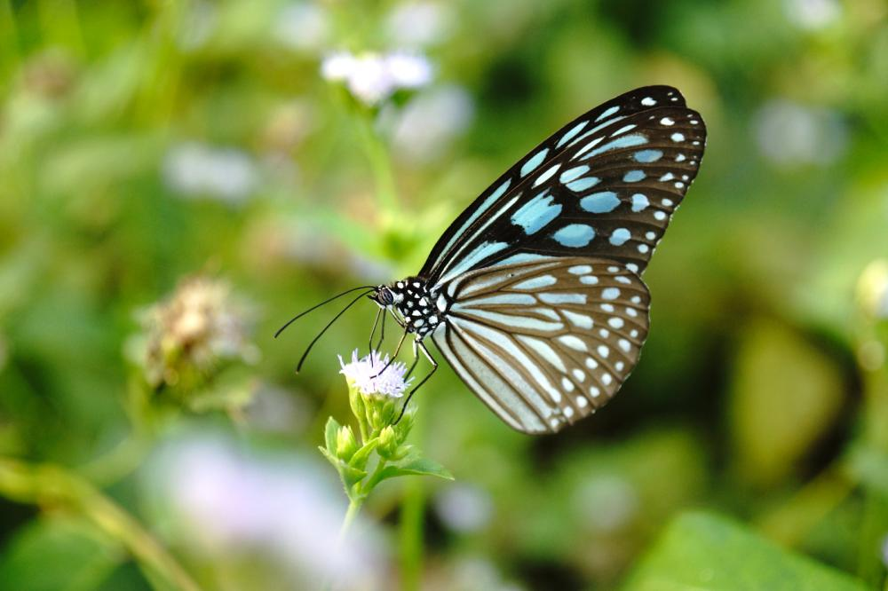 blue-glassy-tiger-butterfly-on-flower-ideopsis-simillis-persim (1)
