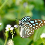 blue-glassy-tiger-butterfly-on-flower-ideopsis-simillis-persim