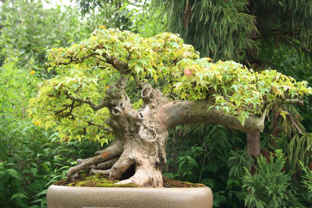 bonsai-tree