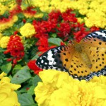 butterfly-and-flowers