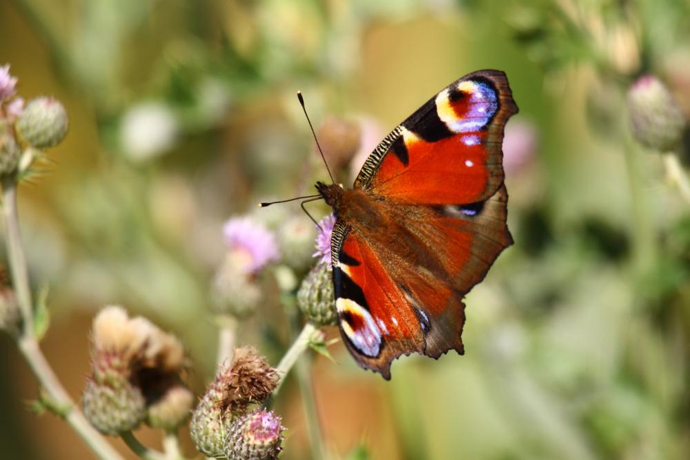 butterfly-inachis-paon-du-jour-peacock