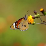 butterfly-on-yellow-flower
