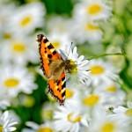 butterfly-orange-on-a-white-flower