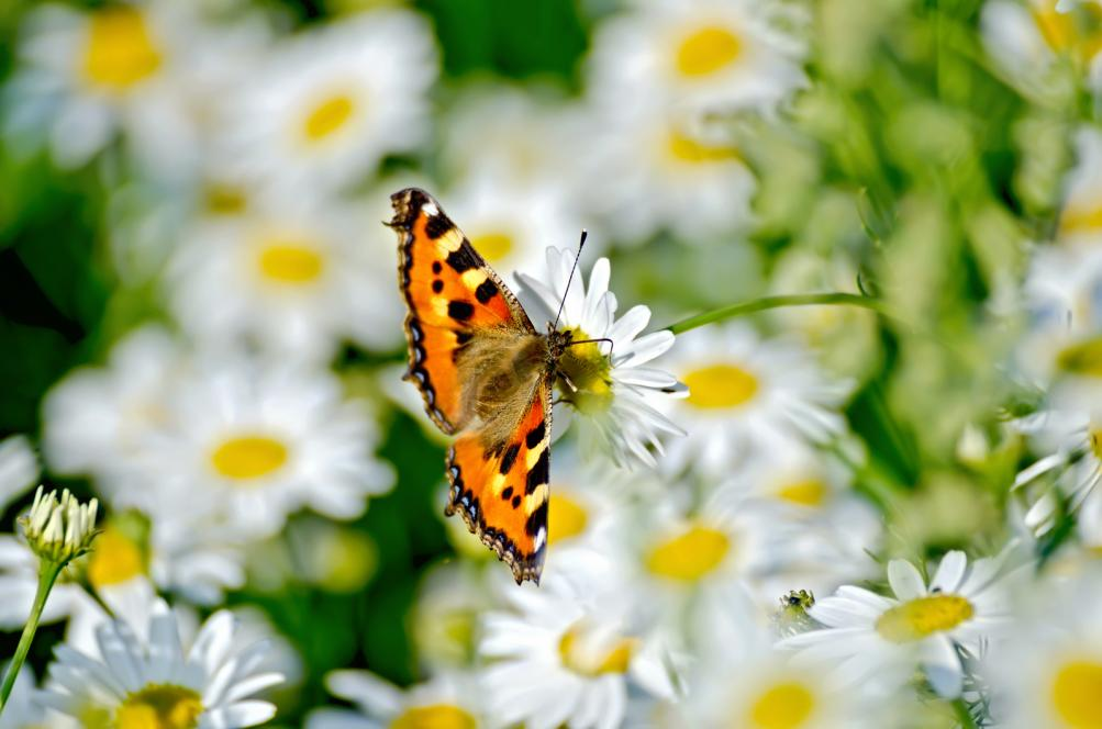 butterfly-orange-on-a-white-flower