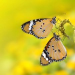 butterfly-yellow (1)