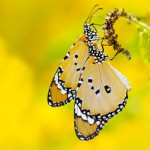 butterfly-yellow