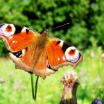 inachisaglais-io-butterfly-close-up-photo-in-nature