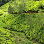 landscape-of-green-tea-plantations-munnar-kerala-india