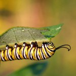 monarch-butterfly-caterpillar