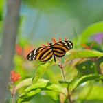 orange-and-black-striped-butterfly