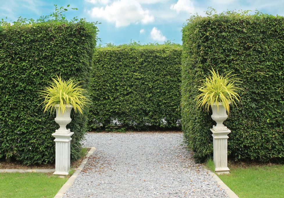 ornamental-shrubs-wall-shrubs