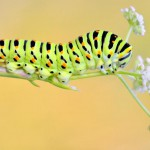 papilio-machaon-caterpillar