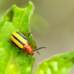 three-lined-potato-beetle