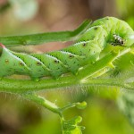 tomato-hornworm-caterpillar-eating-plant