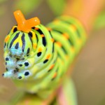 wild-caterpillar-of-papilio-macaone